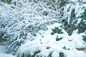bushes-of-snow-feb-09