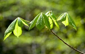 new-horse-chestnut-leaves1